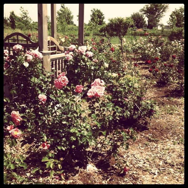 Sculpture Garden, Roses, Summer, Bloom, Oeno Gallery, Prince Edward County, Ontario