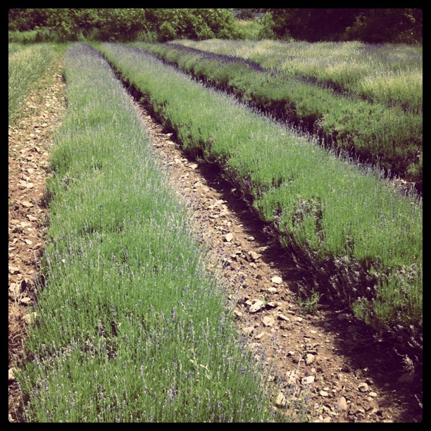 Lavendar Farm, Prince Edward County, Ontario, Bloom, Summer, June